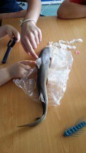 Dois alunos tocam na pele do tubarão trazido do mercado da vila.